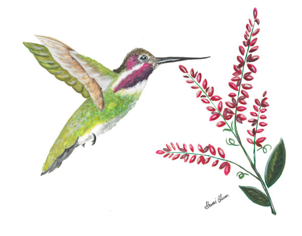 Hummingbird watercolor artwork prints by Sherri Blum